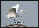 Great Egret 6180
